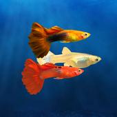 饲养孔雀鱼加速器